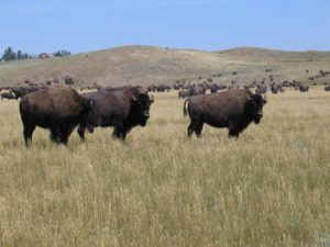 bison-ranch-7